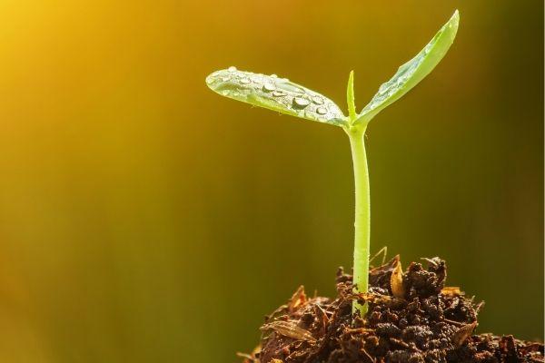 semente germinando na terra